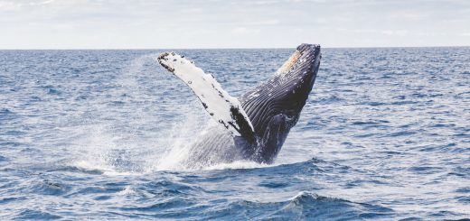 whale Humpback splash jump sea mammal 參加海上觀光賞鯨行程前需要注意的 10 個重點(以宜蘭烏石港、花蓮港、臺東成功漁港和日本沖繩座間味島為例)