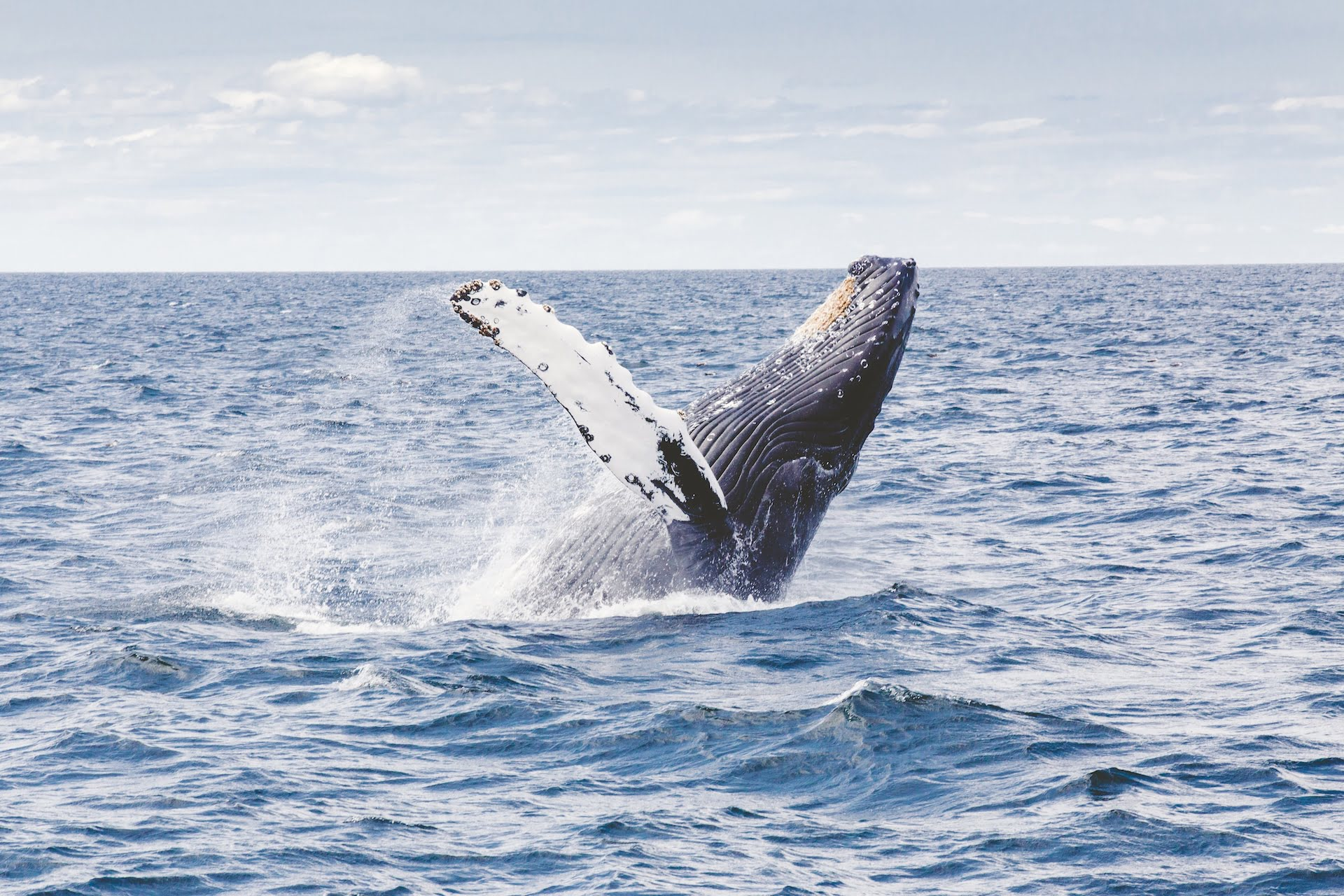 whale Humpback splash jump sea mammal 海洋生態:臺灣鯨魚的觀光資源與鯨豚種類介紹