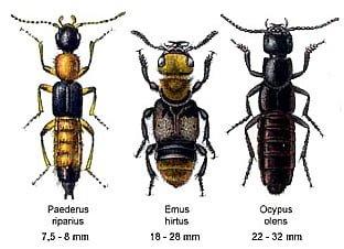 Staphylinidae-隱翅蟲