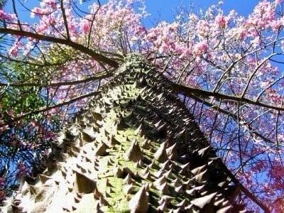 TOP 10 World Tree 08 自然奇觀:讓人目瞪口呆的全球10大神樹