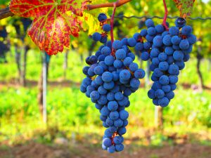 Farm Blue grapes_oberto Verzo