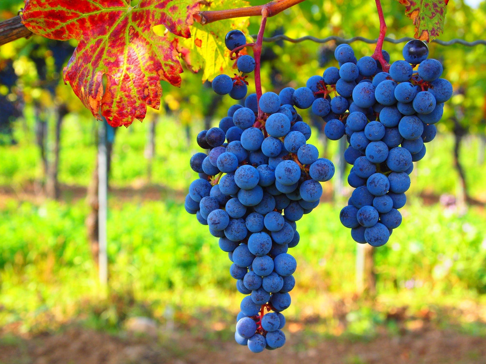 Farm Blue grapes_oberto Verzo