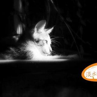 淡水貓-Tamsui-Cat-Cute-U-S-Vedfolnir