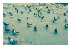 鴿子(攝影/林金亮 LIN JIN LIANG)