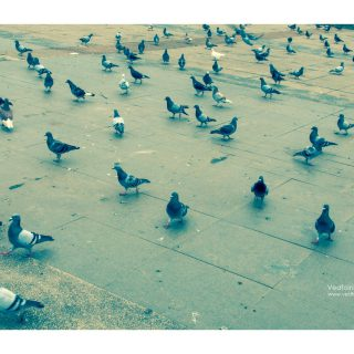 關渡宮-鴿子-vedfolnir