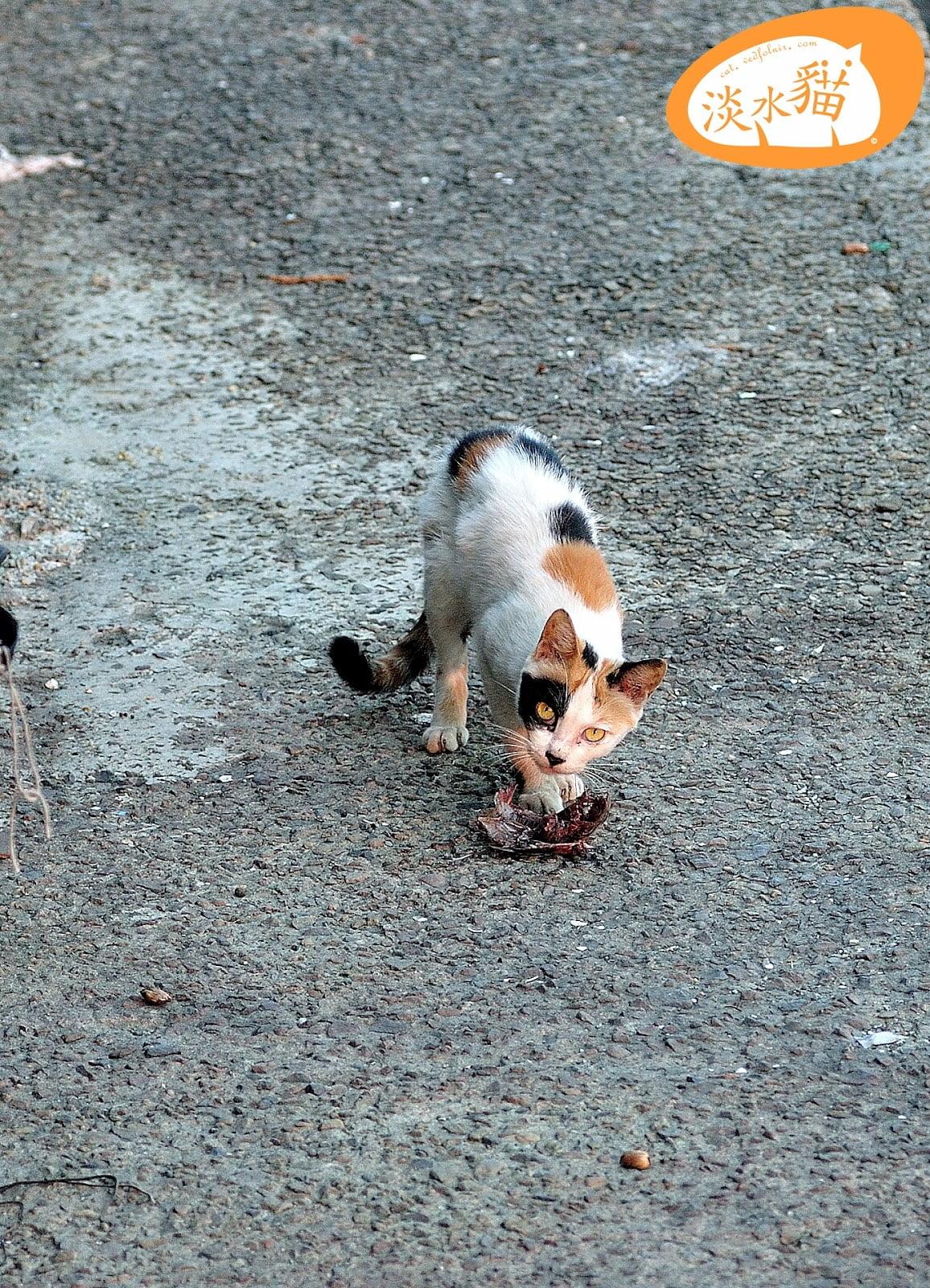 Tamsui-Street-Cat-淡水-街貓-捕魚-vedfolnir