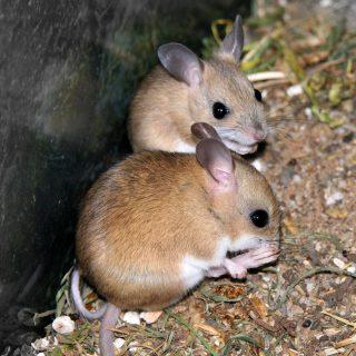 Hopping Mice Stephen Michael Barnett.jpg
