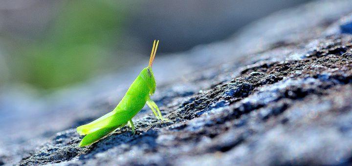 cover-photo-green-grasshopper