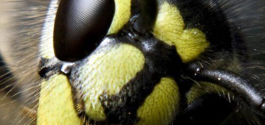 origin 6109853080 虎頭蜂攻擊 危險的秋老虎!躲避蜂螫與蜂毒急救教學🐝