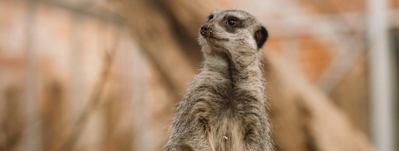 cute meerkat standing in zoo enclosure