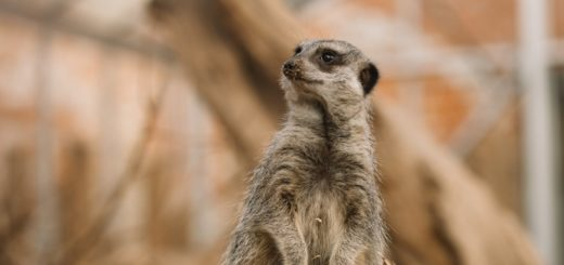 cute meerkat standing in zoo enclosure
