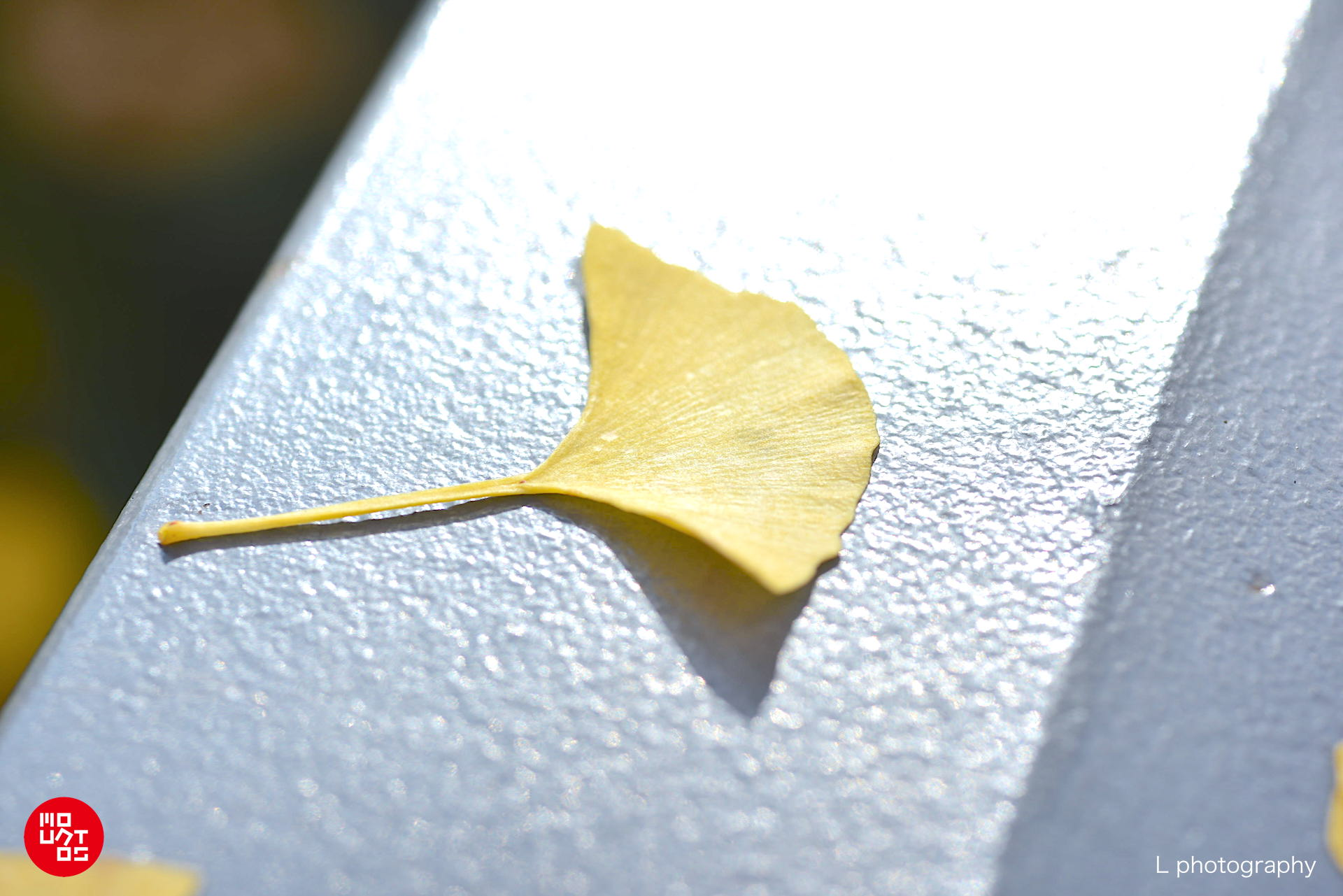 Ginkgo biloba leaf Yokohama Tokyo Japan autumn fall 銀杏/兒童、孕婦與授乳期婦女禁止食用銀杏葉果及其製品