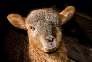 Cute Brown Sheep