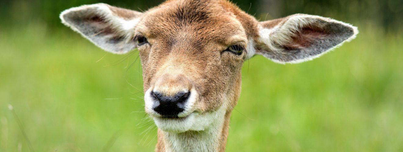 funny look ears female deer stupid 表情符號 中文版、英文版純文字符號