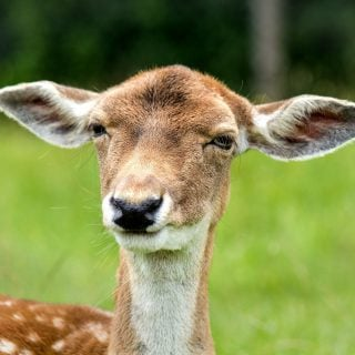 funny look ears female deer stupid 2