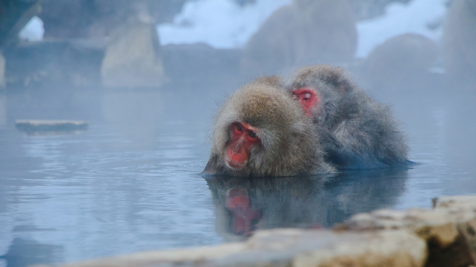 animal photography animals cute hairy hot spring monkey 樂桃航空「冬季泡湯樂♨️」促銷只要1280元輕鬆旅行雪國日本❄️優惠方案