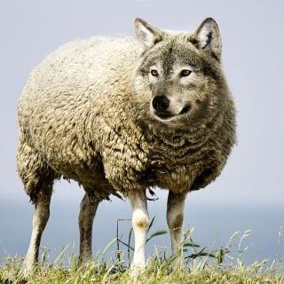 wolf in sheeps clothing 20171208 嘖嘖,粗心的大野狼對上握有權柄的老好人,只好杯具了(轉)
