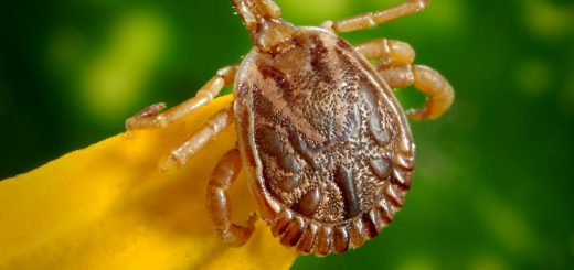cayenne dorsal male bugs illness disease Tick Lyme 萊姆病症:一種經由壁蝨蜱咬傷感染,卻被醫師誤會心理問題的狡猾疾病