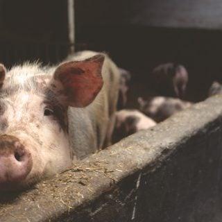 nature farmer dutch Pig Animal Pork 國家級緊急警報通知簡訊淪為放羊小孩(農委會豬瘟之亂)