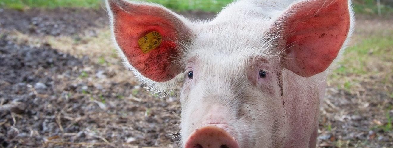 從中世紀教會聖火病洞見美國萊豬(瘦肉精)強迫推銷台灣 animal farmer pink ears pig pork