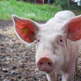 animal farmer pink ears pig pork 從中世紀教會聖火病洞見美國萊豬(瘦肉精)強迫推銷台灣