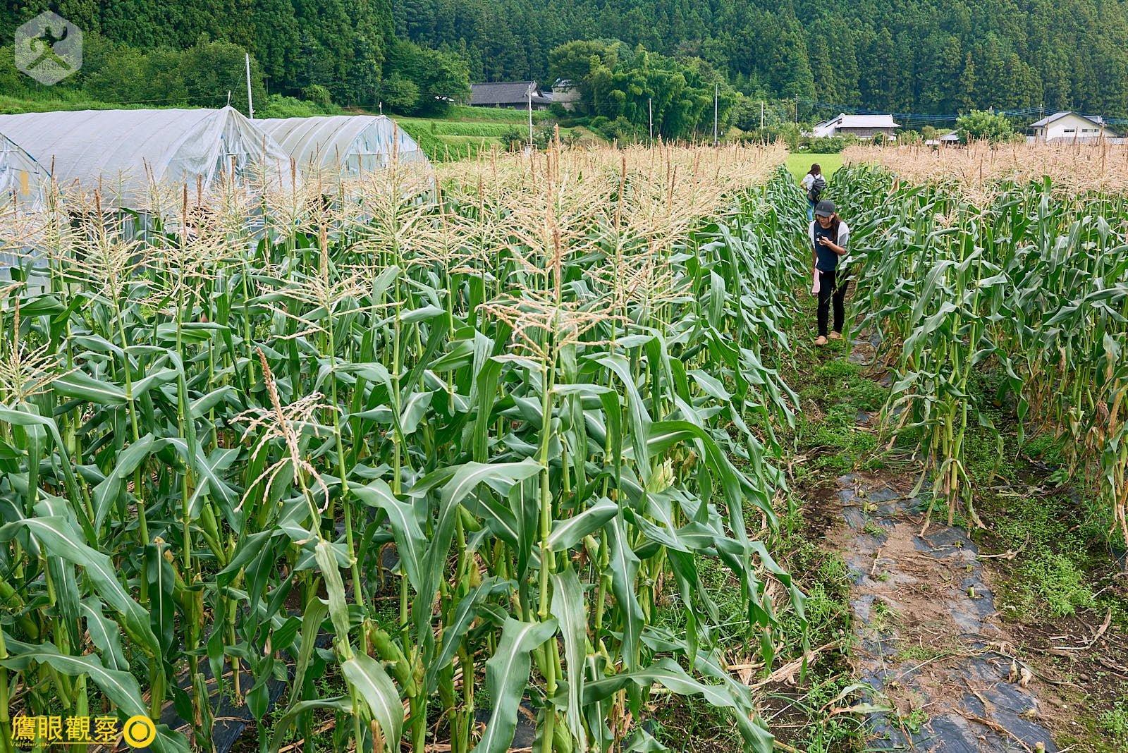 Japan Travel Corn field farmer 20190817134522 日本廢棄小學 🚗 RV 休旅車露營、森林探險之旅(櫪木縣鹿沼市立久我小學)🇯🇵⛺️