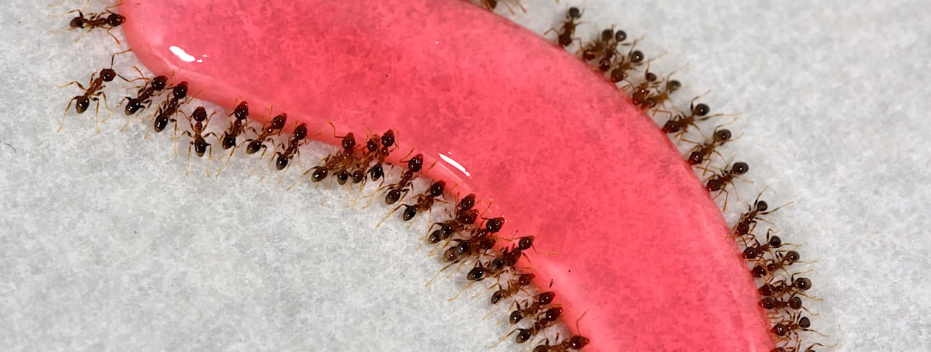 Youpin Ants eat Anticide ant medicine Insecticide 優品蟻絕劑除蟻膏之螞蟻藥(除蟲劑)使用心得