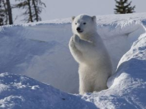 Polar Bear Cute Hands Salute 拱手不握手:武漢病毒 2019-nCoV 對抗傳染之新禮貌運動