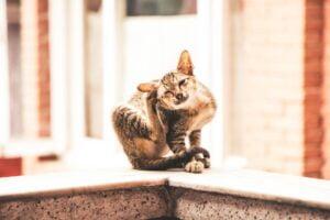 Itching scratching tabby cat 跳蚤防治之殺蟲劑選擇與除蟲心得