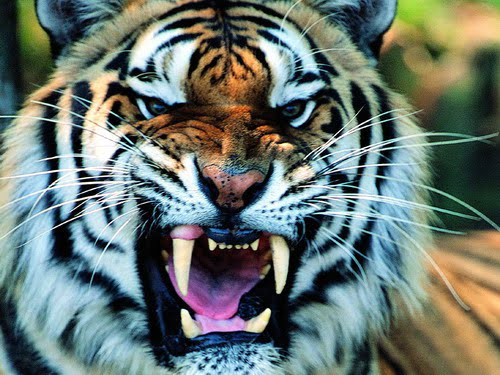 Angry Tiger Face WordPress CSS 排版、樣式測試範本 Layout Sample Test page|應用工具