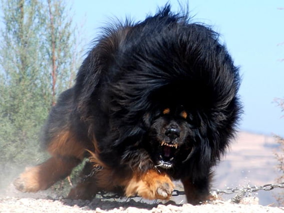 Crazy Mastiff dog 古籍新解:老虎落平陽被犬欺 喔不 是可愛大貓