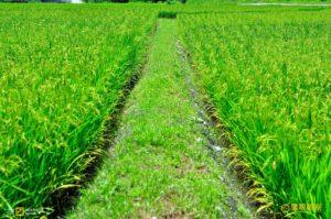 Rural farmland green rice field Tamsui New Taipei City Taiwan Republic of China 你是旅遊計畫魔人嗎?一場好旅行其實可以更自由輕鬆